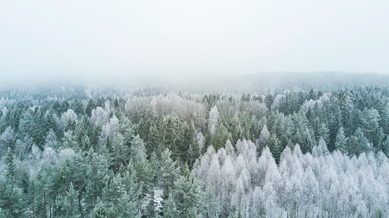Winter Solstice Pine Trees